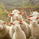 U ponedjeljak zadnji rok za podnošenje zahtjev za poticaj za uzgajivače ovaca i koza