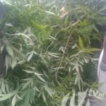 U kalesijskom naselju Muratovići pronađena marihuana