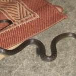 Intervenisali vatrogasci u Miljanovcima: U kuću Smajića ušla zmija od 1 metar